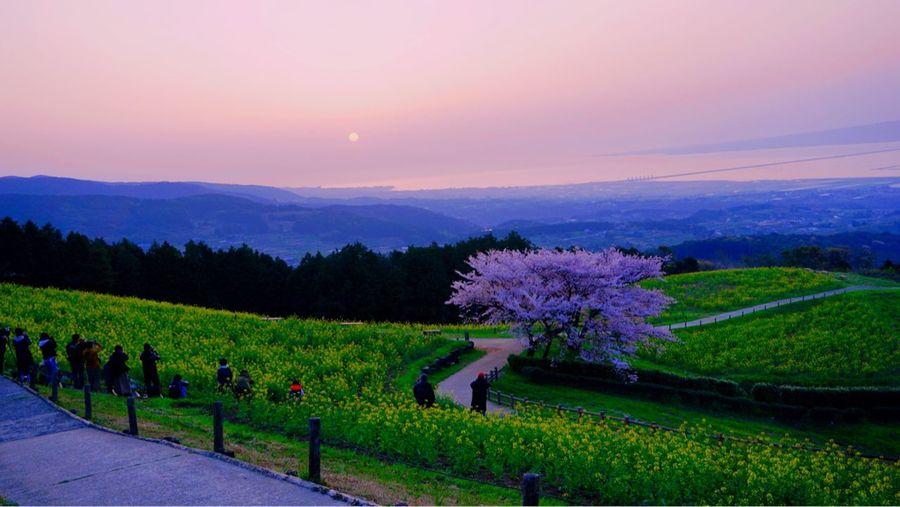 早朝なのに 人の多さに びっっっくり!!でした(๑°⌓°๑) 菜の花はまだ 桜は散り始め Isahaya City 桜 白木峰 Beauty In Nature Plant Sky Scenics - Nature Flower Growth Landscape