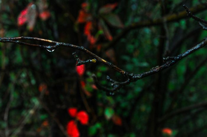 Close-up Drop Wet Water Growth Focus On Foreground Nature Branch Freshness Plant Beauty In Nature Selective Focus Day Green Color Red Purity Outdoors Springtime Tranquility Botany