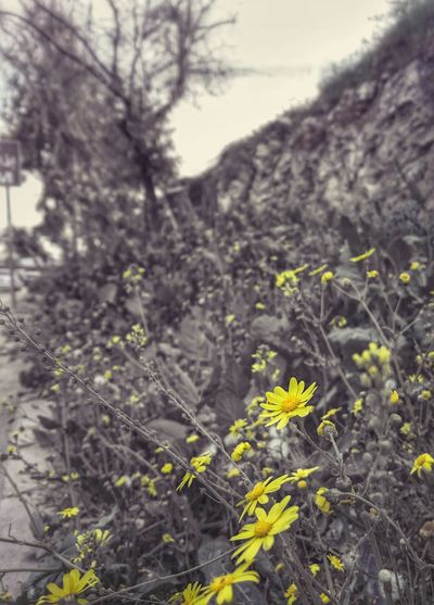 Colorsplash Yellow Blackandwhite Flowers Travel Nature