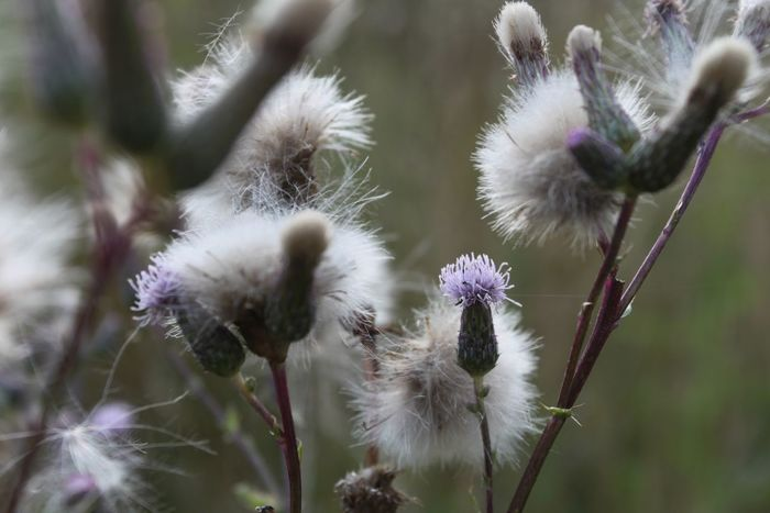 Wildblume Feldblume Field Flower Disteln Thistles