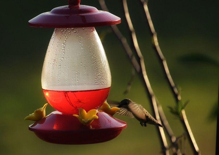 Hummingbird Drinking From Bird Feeder