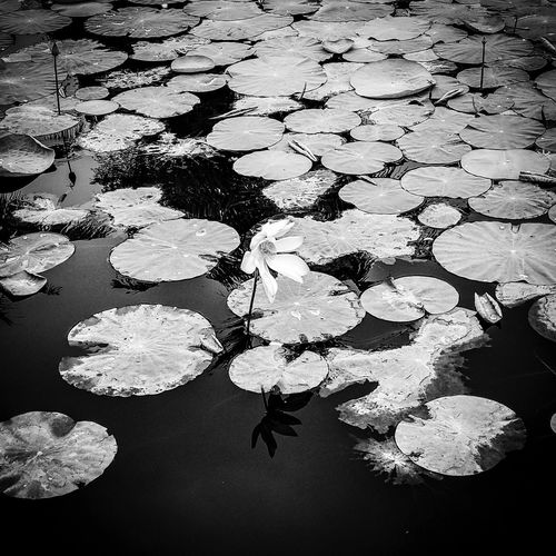 Beautiful flower.... Water Leaf Nature Water Lily Reflection Lily Pad Floating On Water Beauty In Nature Lake Floating High Angle View Flower Tranquility Lotus Water Lily Day Growth Outdoors No People Plant Fragility