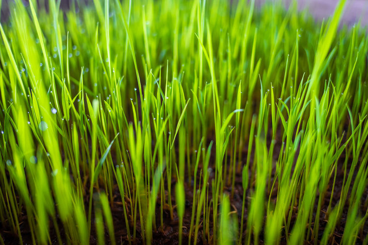 Growth Green Color Plant Field Grass Beauty In Nature Full Frame Land No People Backgrounds Nature Day Close-up Tranquility Freshness Agriculture Selective Focus Outdoors Rural Scene Green Blade Of Grass