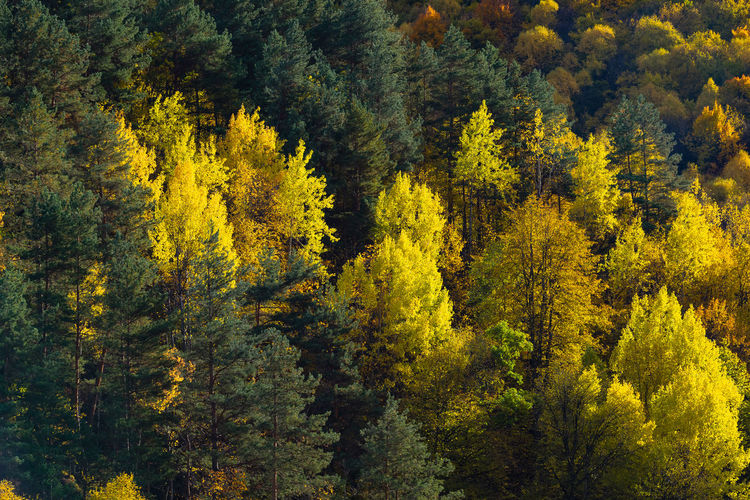High angle view of yellow trees in forest