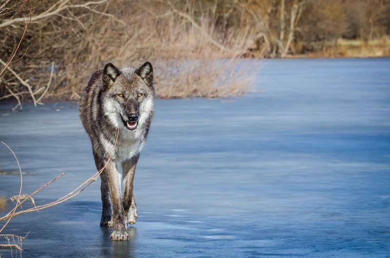 Dharma Wolf Pack Wolf Lone Wolf ice Ice Winter Cold Predator