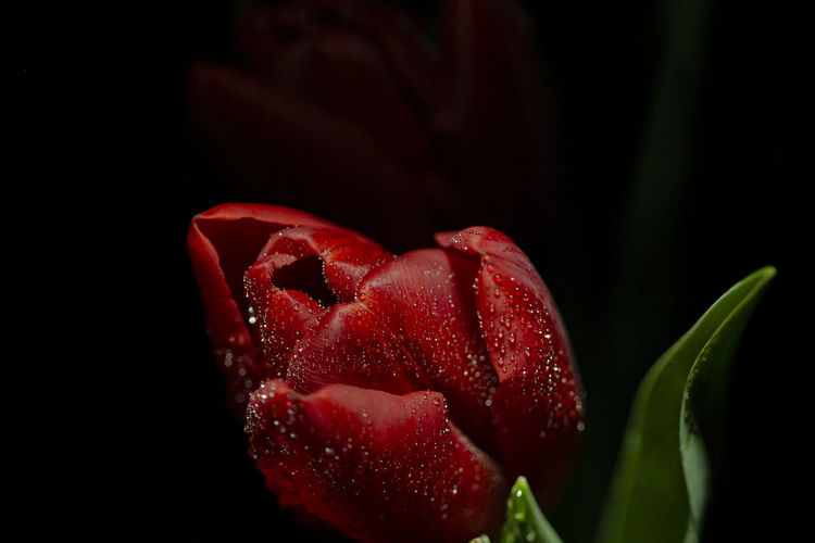 Close-up of red rose flower against black background