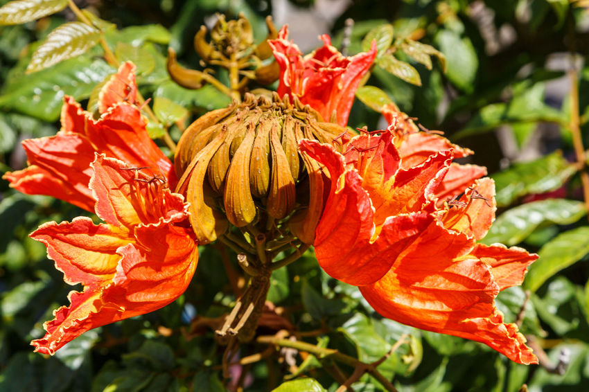African Tuliptree Spathodea Beauty In Nature Blooming Close-up Day Day Lily Flower Flower Head Focus On Foreground Fragility Freshness Growth Hibiscus Nature No People Outdoors Petal Plant Red