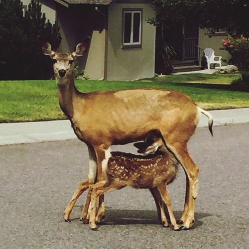 Hungry baby Baby Animals Fawn Deer Animal Themes Mammal Domestic Animals One Animal Standing Full Length Portrait