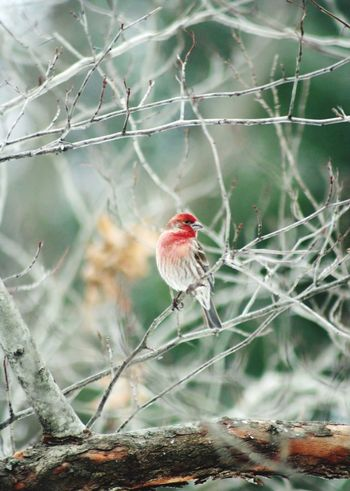 TMorris One Animal Bird Animal Themes Nature No People Animals In The Wild Red Day Outdoors Perching Branch Beauty In Nature Close-up EyeEmNewHere EyeEmNewHere