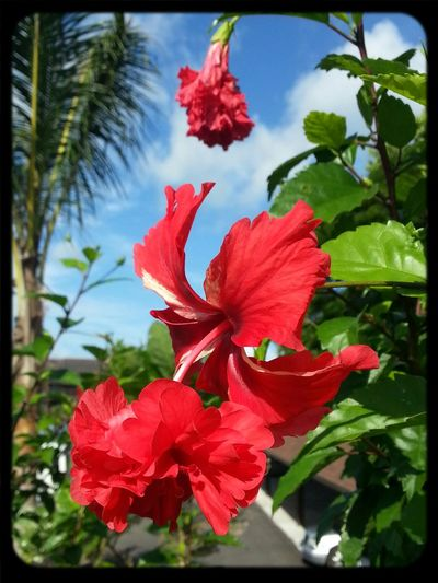 Malaysia national flower, the hibiscus. Tourism Malaysia Malaysia Tourism TourismMalaysia Malaysia Asia