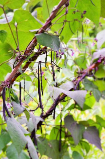 purple climbing runner beans Blauhilde Blauhilde Beans Beauty In Nature Close-up Day Flower Fragility Freshness Green Color Growth Nature No People Outdoors Plant Purple Beans Tree