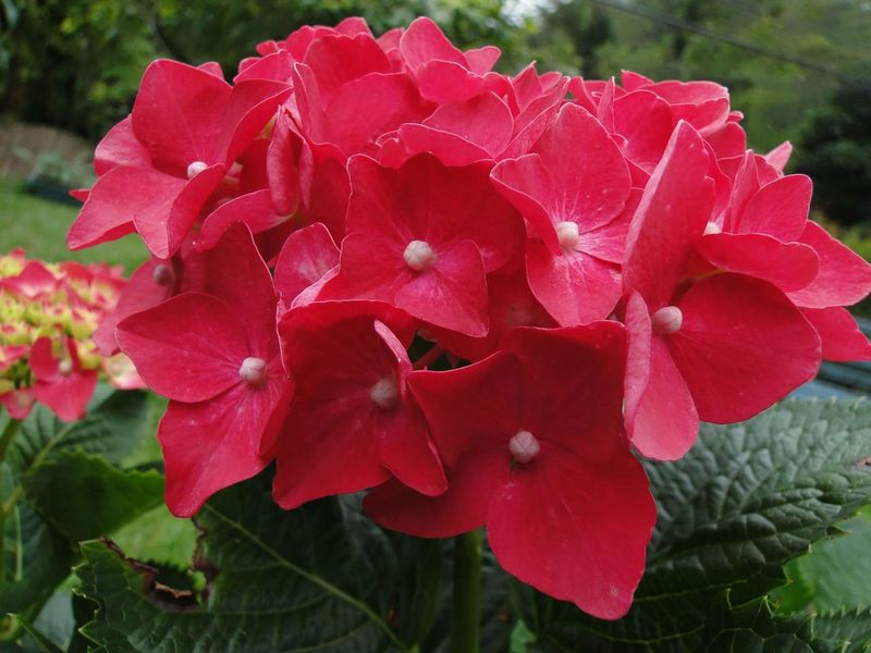 Flower Nature Plant Beauty In Nature Petal Growth Outdoors Pink Color Leaf Fragility Freshness Close-up Flores Rosas Flores Hydrangea Pink Hydrangea Bouquet Hydrangea Macrophylla Hortensie Hydrangea Flower Flower Of My Garden Pink Hydrangea Flower Of Eyeem Hydrangea Plants Pink Hortensia Pink Flower