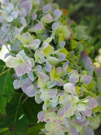 Flower Nature Green Color Beauty In Nature EyeEm Nature Lover 紫陽花 あじさい Hydrangea Flower Collection Olympus オリンパス 秋紫陽花