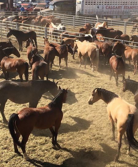 Animal Pen Horses Bucking Broncos Ready To Bite Ears Back Rodeo Horses Dirt Dirt Dirt