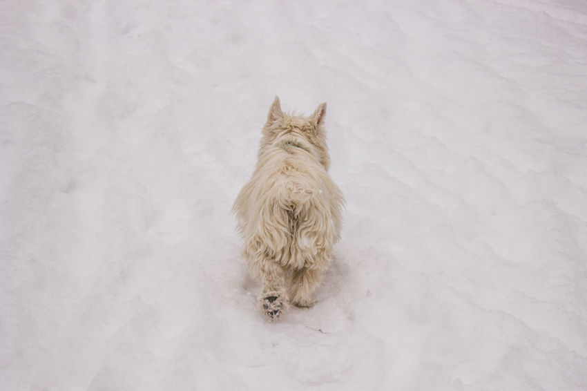 Animal Themes Close-up Cold Temperature Day Dog Dog Butts Domestic Animals Mammal Nature No People One Animal Outdoors Pets Snow Westie White Dog Winter