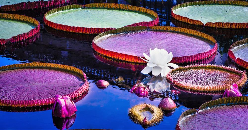 Victoria Amazonica Water Floating On Water Flower Nature