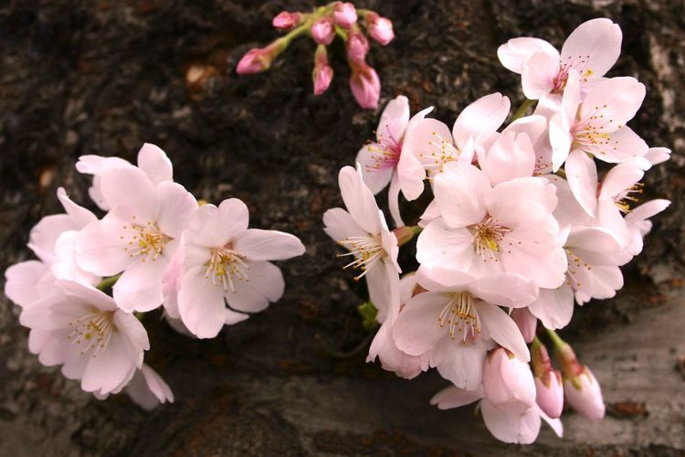 Springtime is here with cherry blossom flowers in abundance Beauty In Nature Blooming Blossom Branch Close-up Day Flower Flower Head Fragility Freshness Growth Nature No People Outdoors Petal Pink Color Spring Springtime Stamen Tree