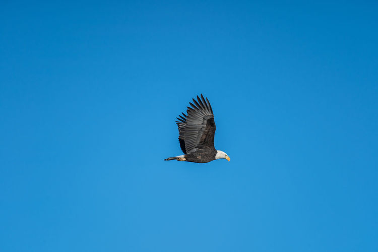 Animal Wildlife Animals In The Wild Animal Animal Themes Bird One Animal Vertebrate Clear Sky Sky Copy Space Blue Flying Spread Wings No People Low Angle View Nature Day Bird Of Prey Mid-air Outdoors Eagle