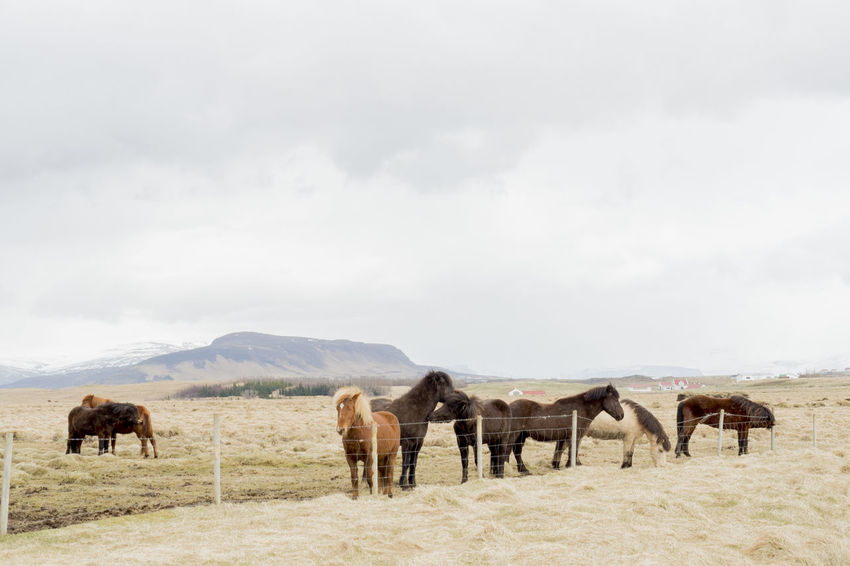 Iceland Iceland Pony Agriculture American Bison Animal Animal Themes Animals In The Wild Cloud - Sky Day Desert Domestic Animals Field Full Length Grass Grazing Landscape Large Group Of Animals Livestock Mammal Mountain Nature No People Outdoors Rural Scene Scenics Sky Togetherness