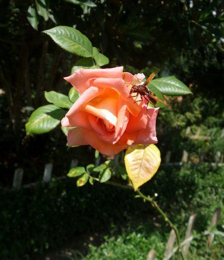 Rose🌹 Rosé