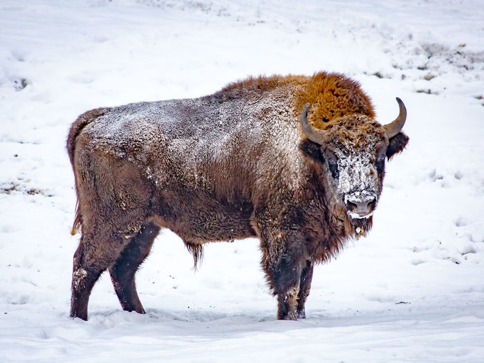 Wisent standing on snow covered field