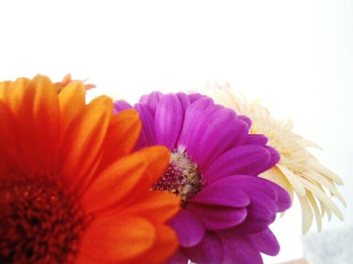Close - up of 3 colour gerbera flowers Flowers Gerberas Gerbera Flower Colours 3 Yellow Pink White Close - Up 3 Different Colour Flowers Close - Up Of Flower Close - Up Flower Close Up Flower Close Up Flowers Makro Closeup
