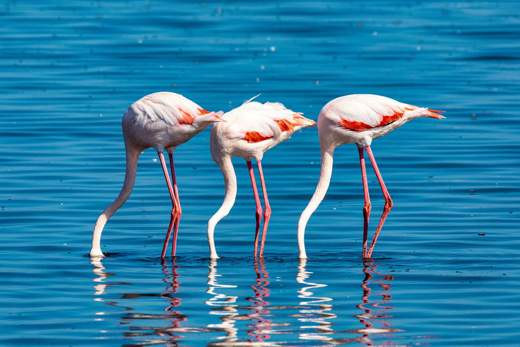 Flamingoes in lake