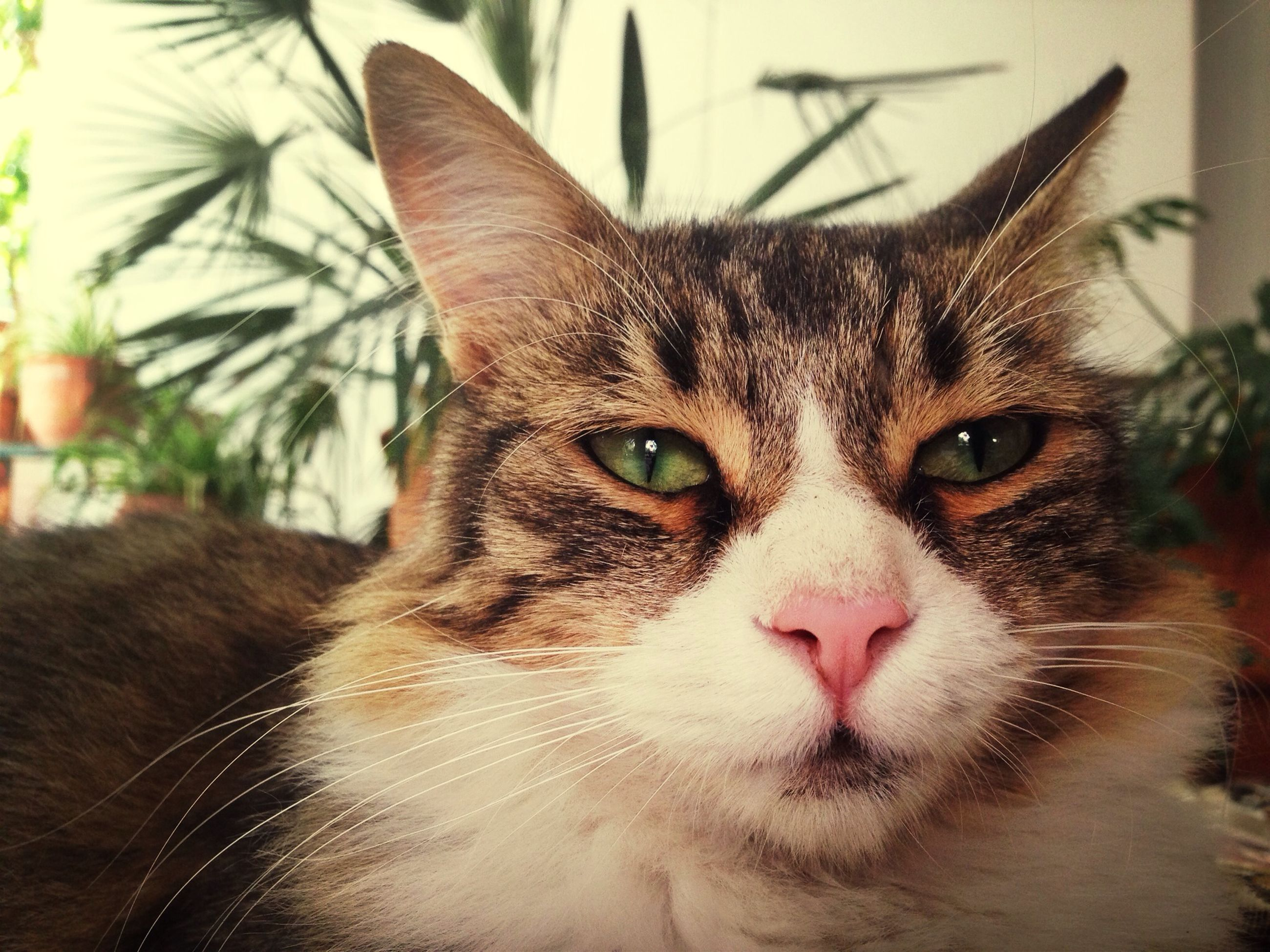 pets, domestic animals, domestic cat, animal themes, one animal, mammal, cat, feline, portrait, looking at camera, whisker, close-up, focus on foreground, indoors, animal head, alertness, animal eye, relaxation, staring