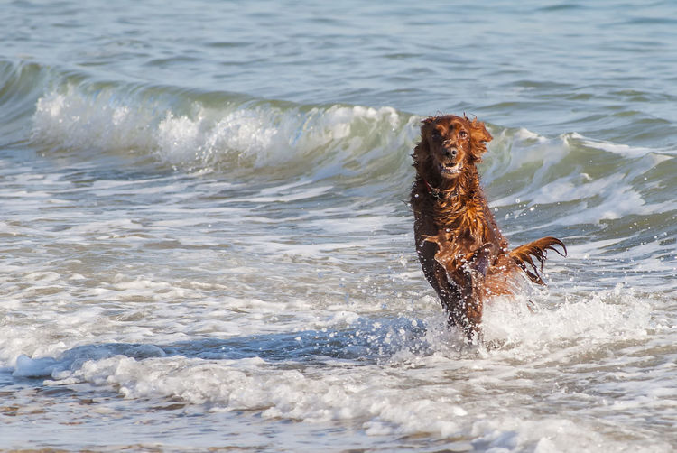 Taking a dip Water Wave Pets Sea Beach Dog Swimming Animal Themes