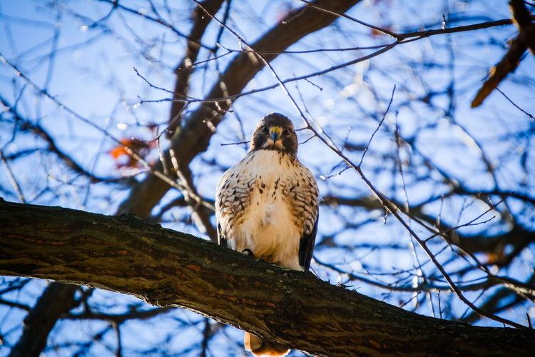 Alertness Animal Themes Animals In The Wild Balance Beak Bird Branch Curiosity Day Depth Of Field Focus On Foreground Hawk Low Angle View Nature No People One Animal Outdoors Perching Redtailhawk Selective Focus Stare Staredown Wildlife Winter Zoology