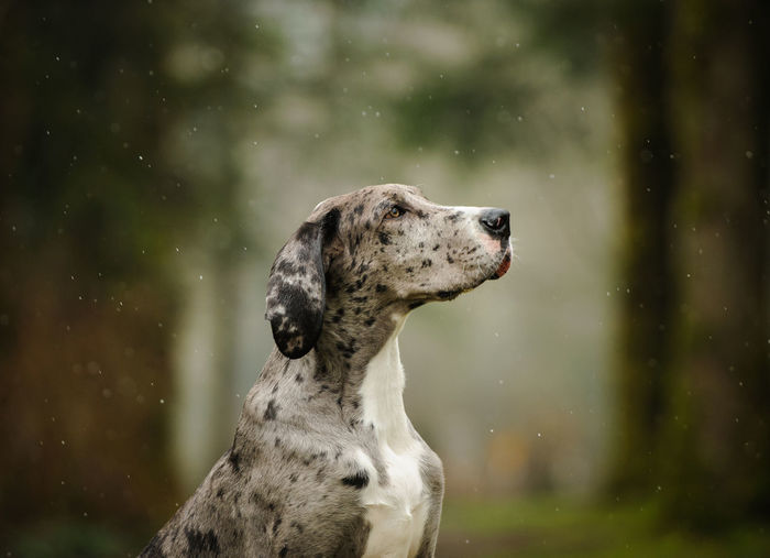 Close-up of great dane in forest