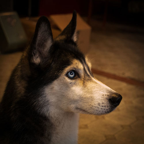 Alertness Animal Nose Blue Eyes Close-up Curiosity Dog Domestic Animals Focus On Foreground Indoor Looking Looking Away Mammal No People One Animal Pets Profile Siberian Husky Siberianhusky Whisker Zoology