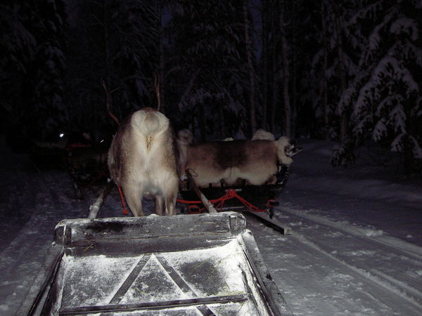 Reindeer ride in Luosto Beautiful Finland Lapland Sledge Winter Amazing Animal Animal Themes Group Of Animals Livestock Lovely Luosto Mammal Nature Night No People Outdoors Plant Snow Tree Vertebrate HUAWEI Photo Award: After Dark