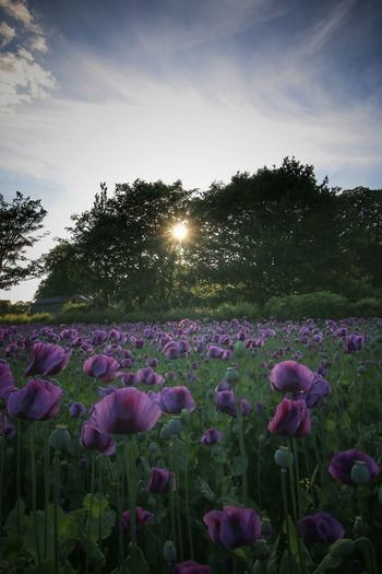 Poppy field Beauty In Nature Environment Field Flower Flower Head Flowering Plant Freshness Growth Land Landscape Nature No People Northumberland Opium Poppies Opium Poppy Plant Purple Sky Sun Sunlight Tranquil Scene Tranquility Tree