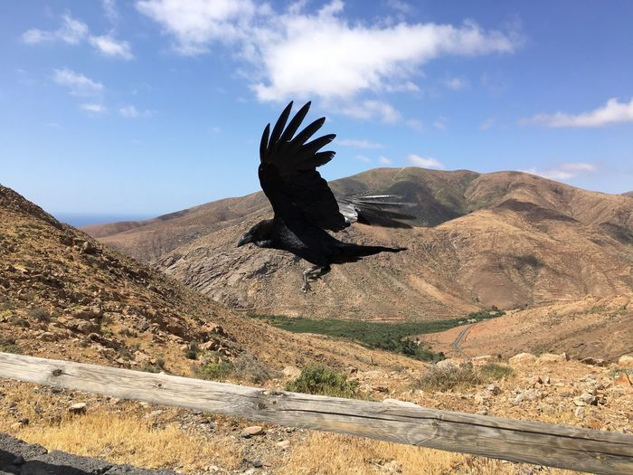 Side view of raven flying