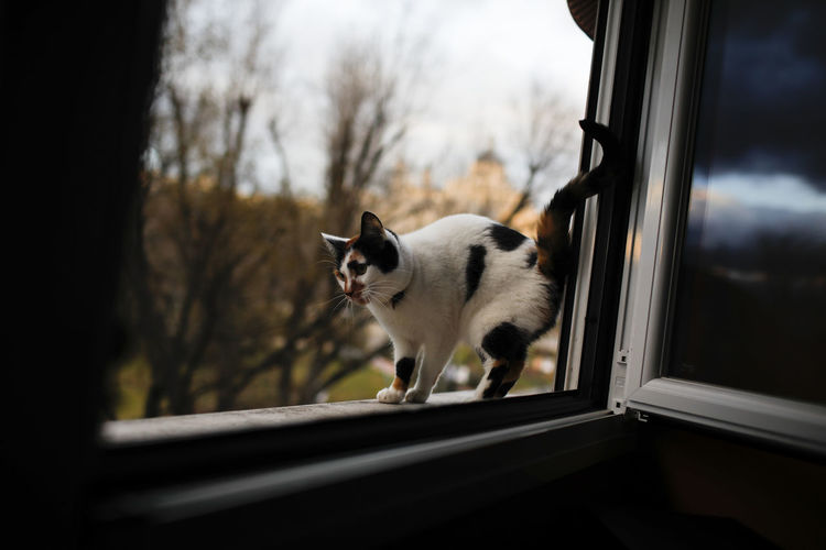 One Animal Domestic Animals Domestic Pets Animal Themes Mammal Animal Vertebrate Domestic Cat Window Cat Feline No People Day Tree Looking Nature Outdoors Animal Body Part Standing Whisker Mouth Open Animal Head