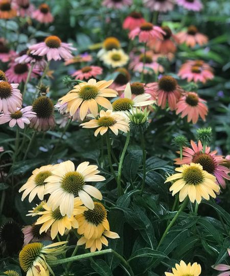 Plant Growth Flower Flowering Plant Fragility Vulnerability  Beauty In Nature Coneflower Flower Head Freshness Petal Close-up Day No People Nature Inflorescence Focus On Foreground Park Yellow Pollen