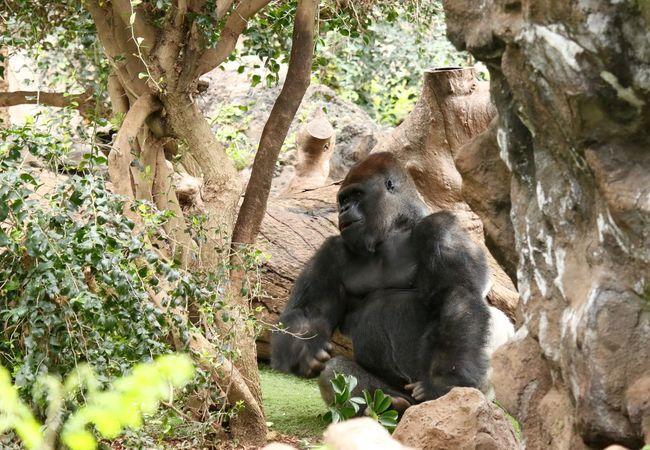 Affe Animal Themes Animals In The Wild Gorilla Gorillas Gorillaz Mammal Monkey Monkeys Nature No People One Animal Relaxation Rock - Object Sitting Tree Wildlife Zoo