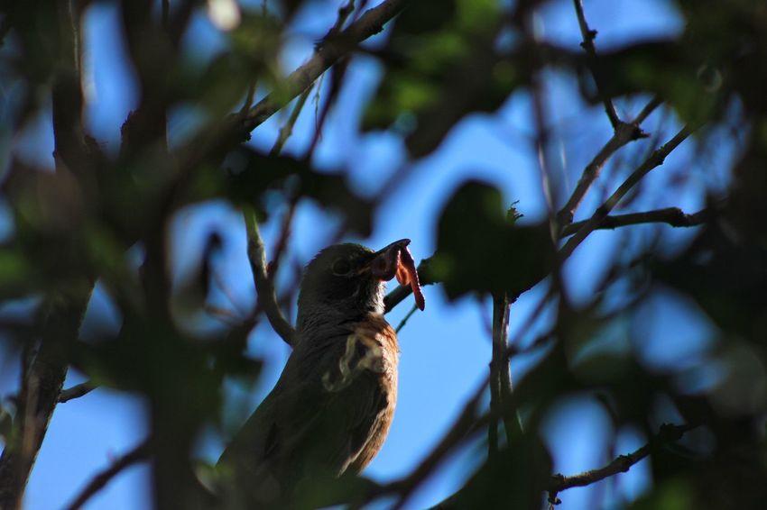 Bird Robin Morning Earlybird Early Bird Gets The Worm Breakfast Leaves Worm Avian Outdoors Nature Morning Light Early Bird