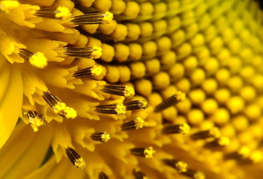 Sunflower 🌻 Yellow Flower Yellow Nature_collection Naturelovers Nature Photography Floral Floral Pattern Sunflower Sunflowers🌻 Flower Head Flower Yellow Yellow Background Close-up Plant Sunflower Plant Life Blooming Pollen Stamen Pollination