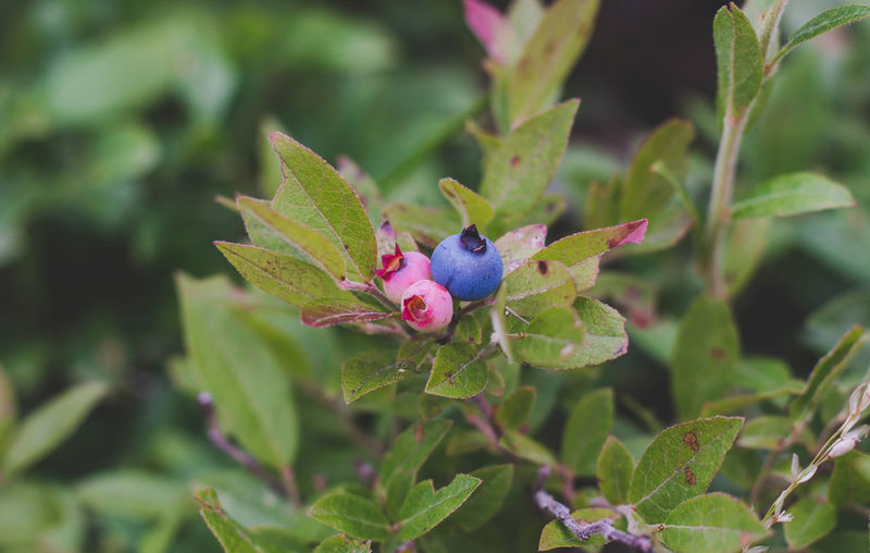 Almost ready for the taking. Freshness Nature Photography Summertime The Week On EyeEm Beauty In Nature Blueberries Blueberry Blueberry Plant Close-up Day Freshness Fruit Green Color Growing Wild Growth Leaf Nature Nature's Goodness No People Outdoors Plant Rewilding Simple Pleasures Wild Blueberries