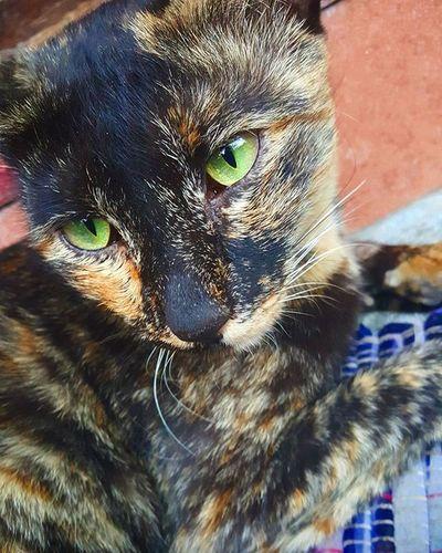 Mi gato 😍 Nature Naturelovers Naturephotography Incridiblenature Spotted Catlover Cat Kitty Kitten Grey Lovekittens Orangeblack Catsareawesome Migato Gatos Gatosdeinstagram Ilovecats Naturechallenge Beautiful Awesome_shots Coolshot Prefect Greenlovers Awesomeeyes