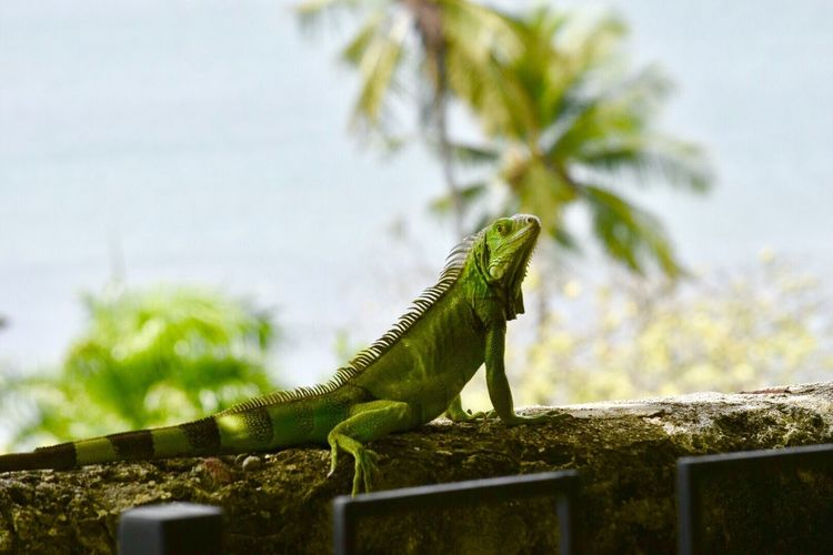 Reptile Lizard No People Green Color Plant Animal Themes Iguana Nature Day Bearded Dragon Close-up Sky Outdoors