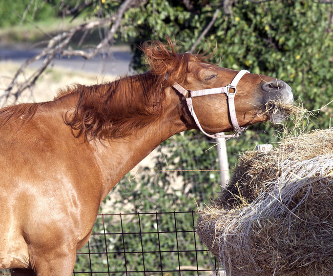 Close-Up Of Brown Horse Eating Straw
