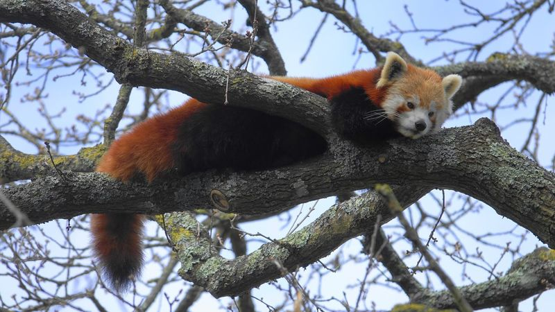 Lazy day One Animal Red Panda Animal Themes Tree Low Angle View Panda - Animal Animals In The Wild Mammal Branch Day Animal Wildlife Nature Sky Outdoors No People Zoo Animals