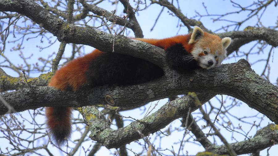 Low angle view of red panda in the wild