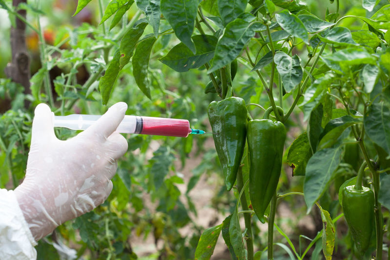 Cropped hand of person injecting red chemical in chili plant