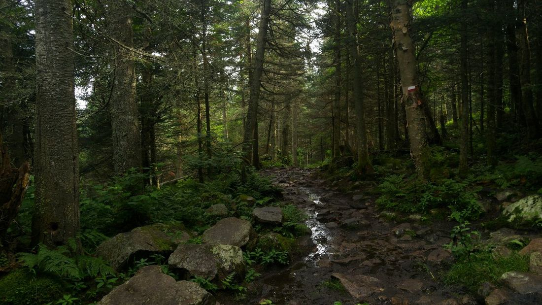 Forest Forest Photography Rain Rainy Days Laurentians Mont Tremblant Mont Tremblant, Qc Mud Trail Path Hiking Hiking Adventures Outdoor Photography Outdoor Nature Nature_collection Landscape Laurentides