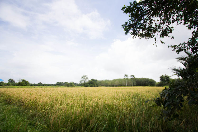 Agriculture Beauty In Nature Business Finance And Industry Cereal Plant Crop  Day Environmental Conservation Farm Field Growth Landscape Nature No People Outdoors Rice Rural Scene Scenics Sky Social Issues Tree
