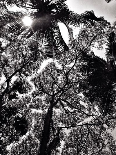 Tree Crowns Samanea Coconut Summer Sun Tree And Sky Sunlight ☀ Black & White Outdoor Photography Heat Tropical Climate Adventure Roadtrip Out For Adventure IPhone Photography Eyeem Philippines